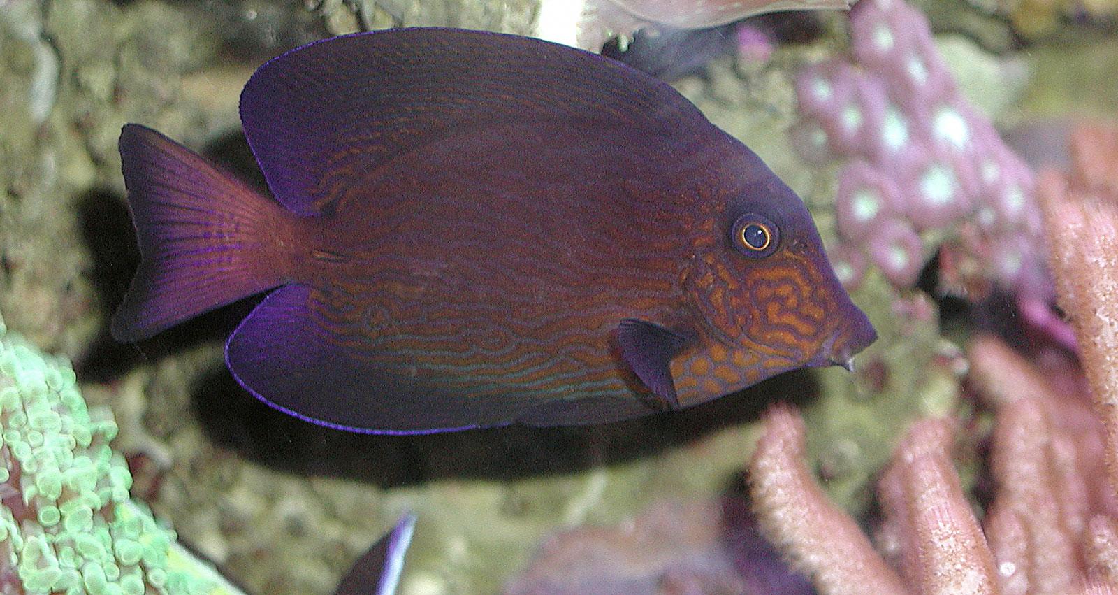 Famiglia Acanthuridae - Ctenochaetus hawaiiensis