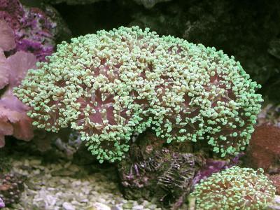 Euphyllia paradivisa