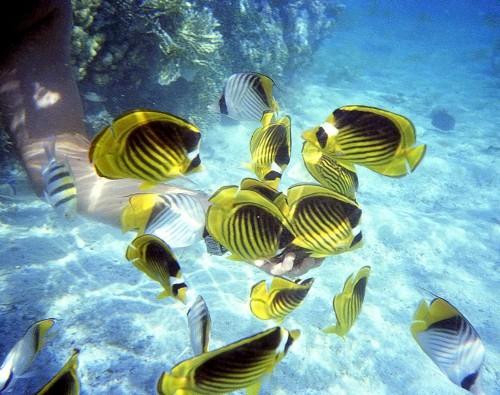 Nuotare con maschera e pinne - El Quseir - Un branco di pesci farfalla
