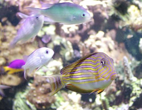 Famiglia Acanthuridae - Acanthurus lineatus