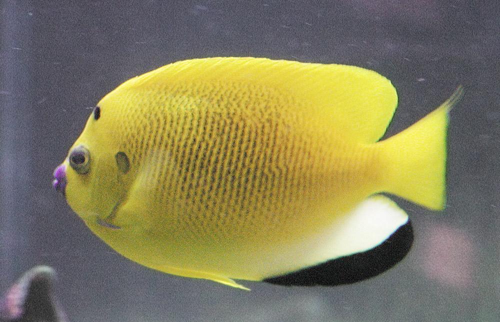 Famiglia Pomacanthidae - Apolemichthys trimaculatus