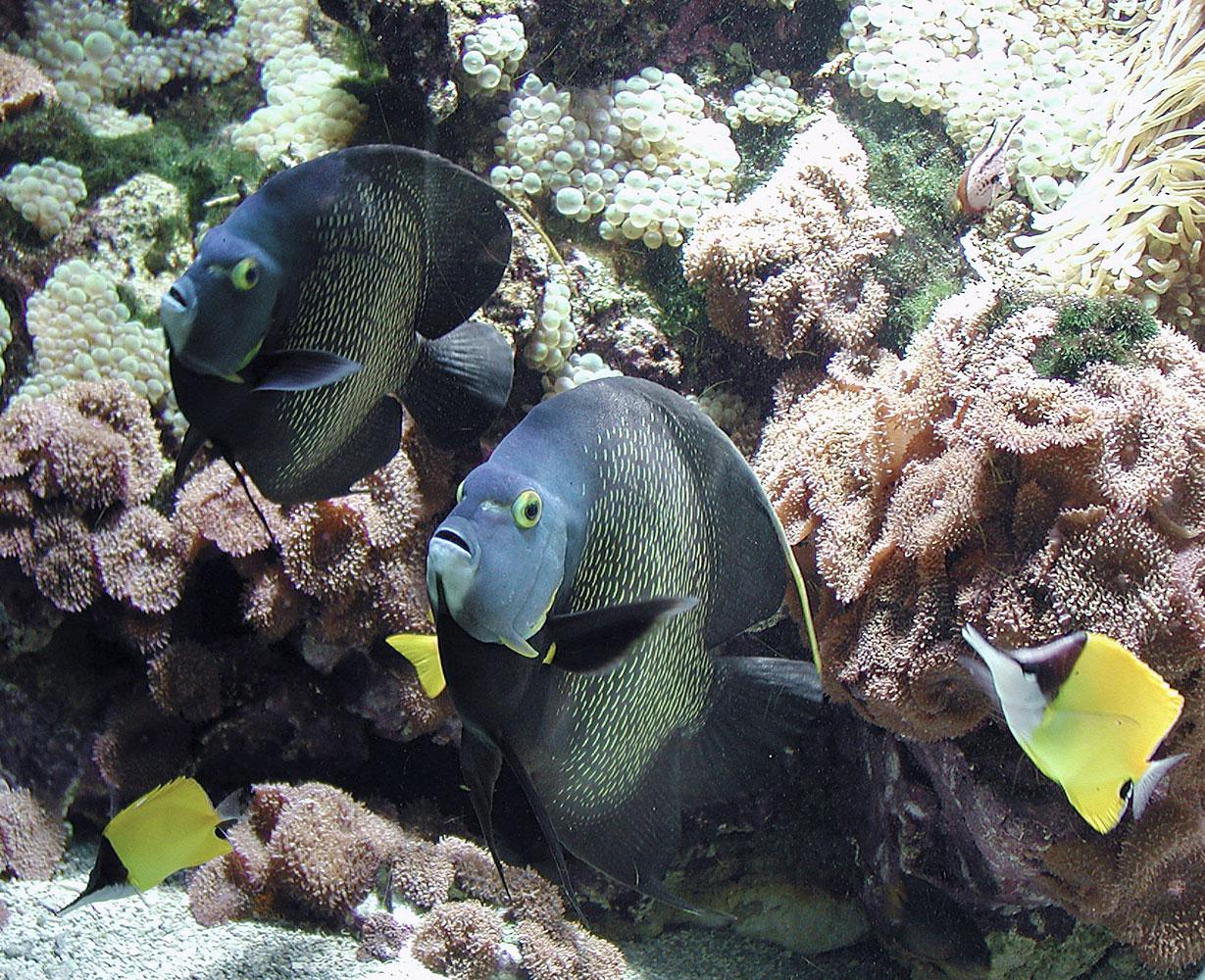 Famiglia Pomacanthidae - Pomacanthus paru