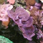 Tridacna maxima - foto e vasca Claudio Rebonato