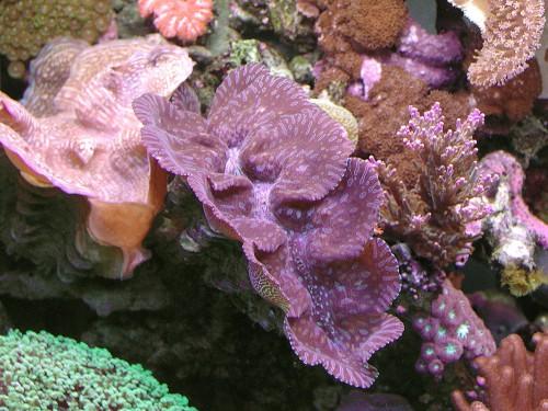 Metodo Tradizionale - Tridacna maxima e Tridacna squamosa