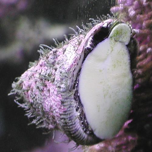 Organismi spazzini - Astraea tectum