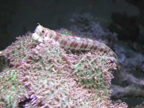 Blenniella chrysospilos