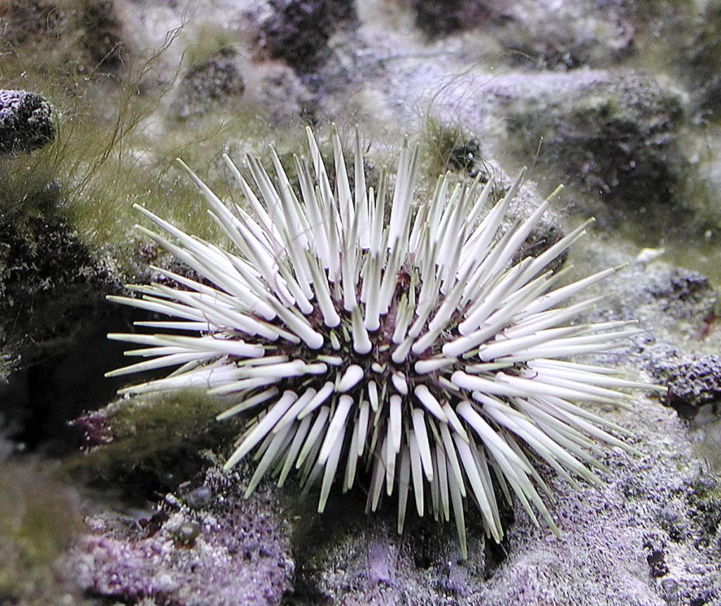 Organismi spazzini - Echinometra mathaei