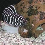 Gymnomuraena zebra