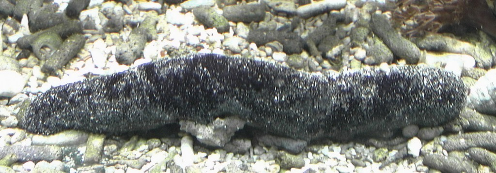 Organismi spazzini - Holothuria atra