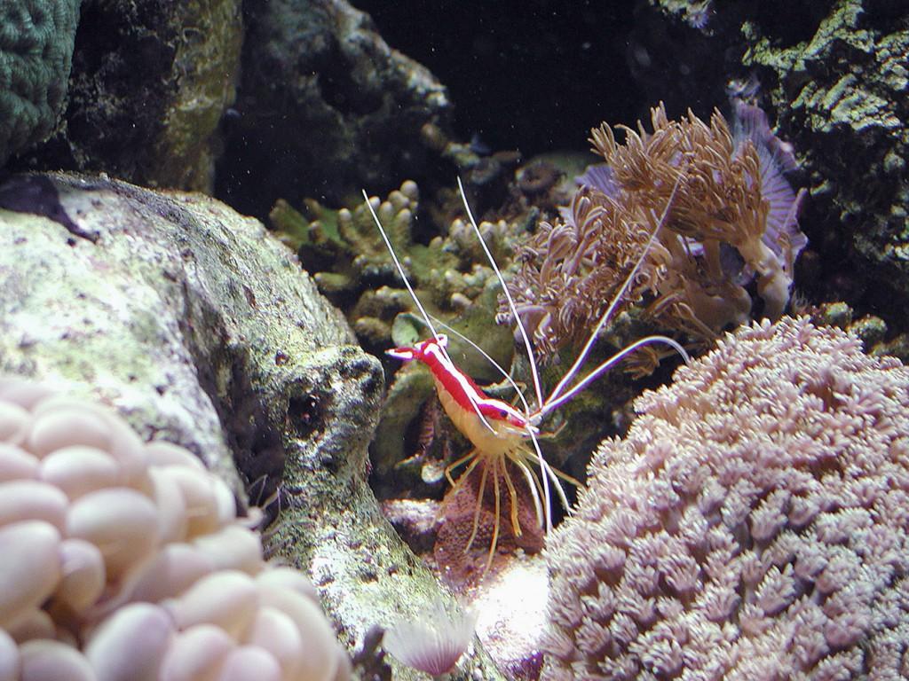 Organismi spazzini - Lysmata amboinensis