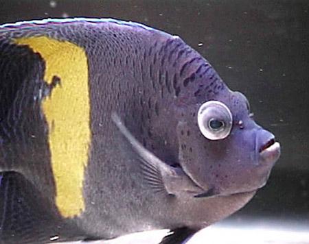 Esoftalmia - Pomacanthus maculosus