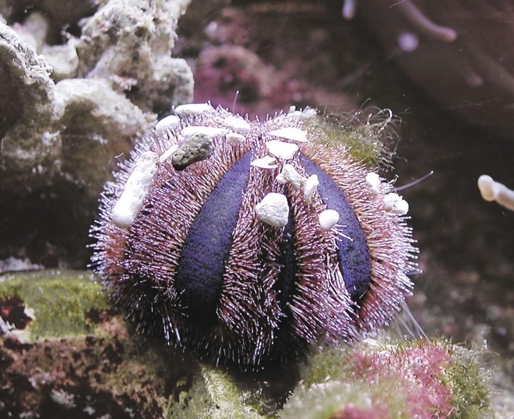 Organismi spazzini - Mespilia globulus