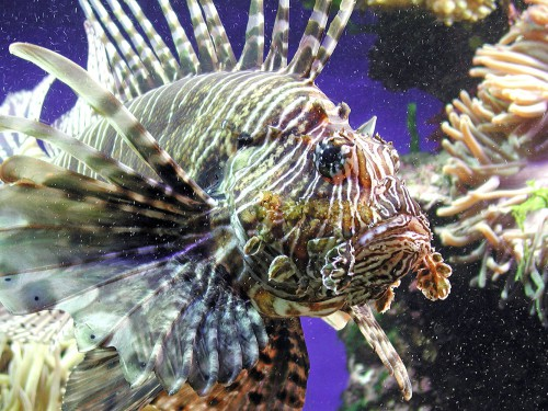 Pericoli in acquario - Pterois volitans