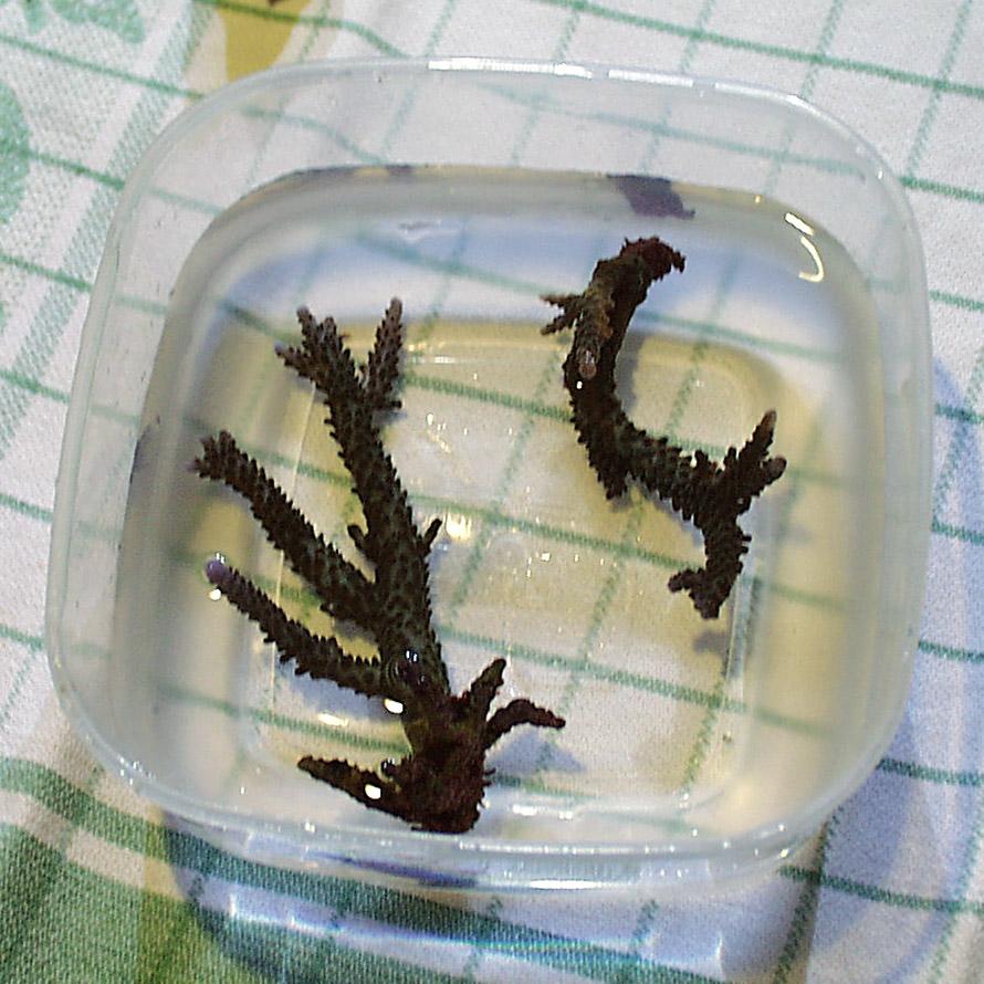 Riprodurre coralli – talea foto A