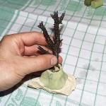 Riprodurre coralli - talea c