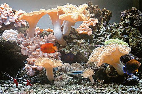 Sarcophyton sp. – esemplari riprodotti vicino in acquario