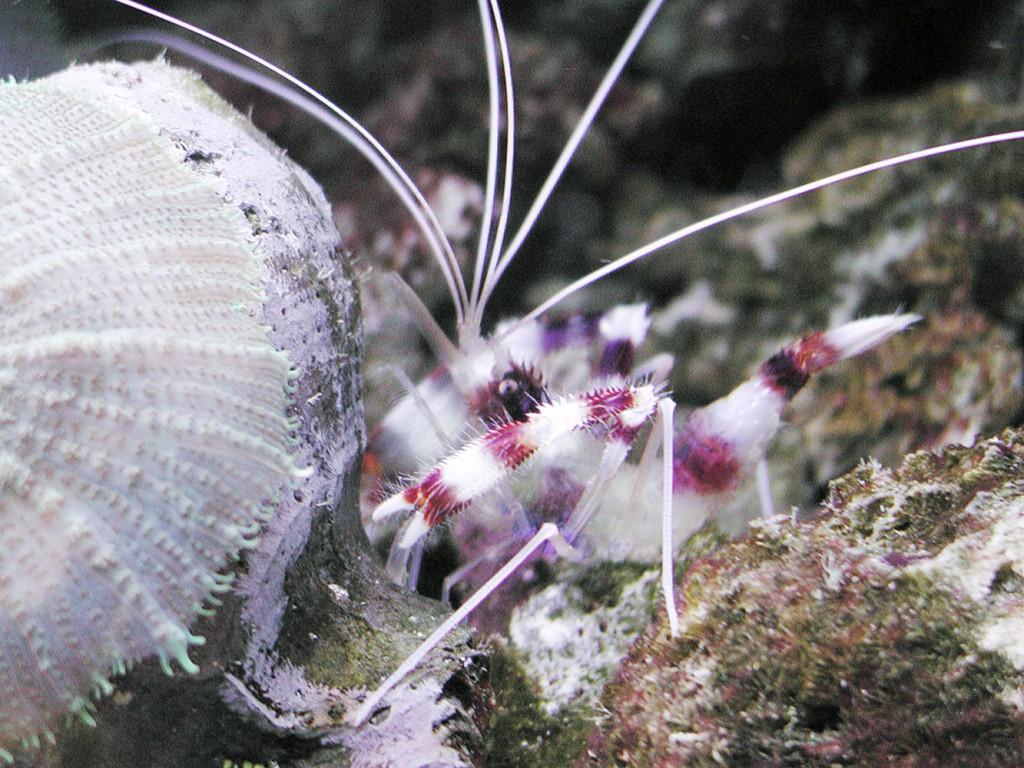 Organismi spazzini - Stenopus hispidus