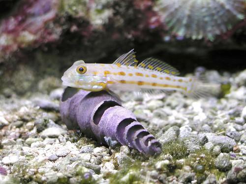 Organismi spazzini in acquario marino for Pesci per acquario piccolo