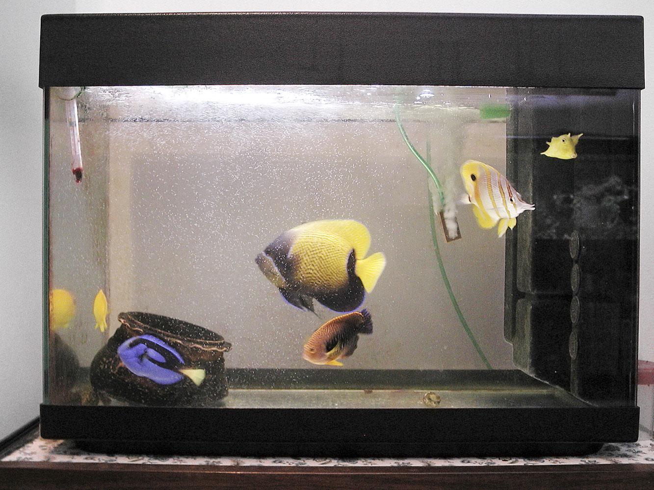 Cryptocaryon irritans un nemico insidioso for Vasca per pesci
