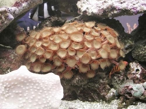 Pericoli in acquario - Zoanthus sp.