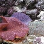 Discosoma spp. - colorazioni varie