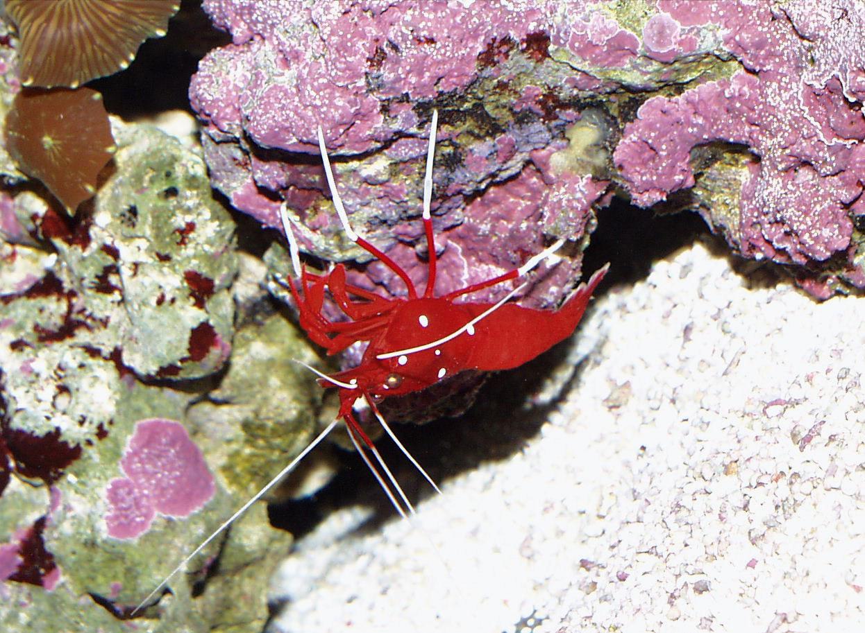 Lysmata debelius for Pesce rosso costo
